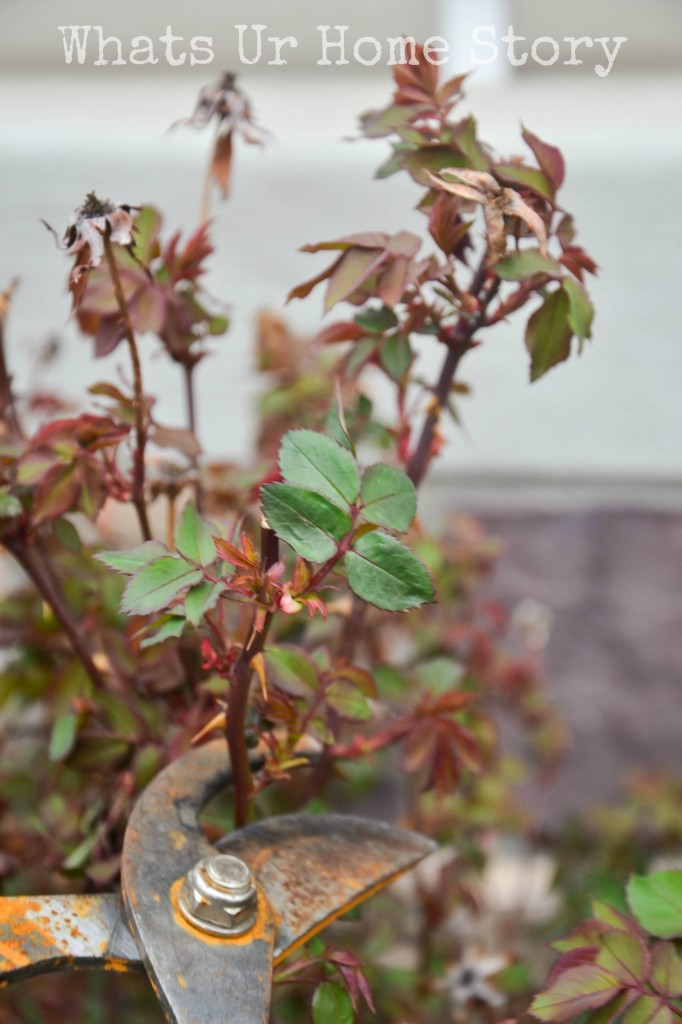 How To Prune Knockout Roses Whats Ur Home Story