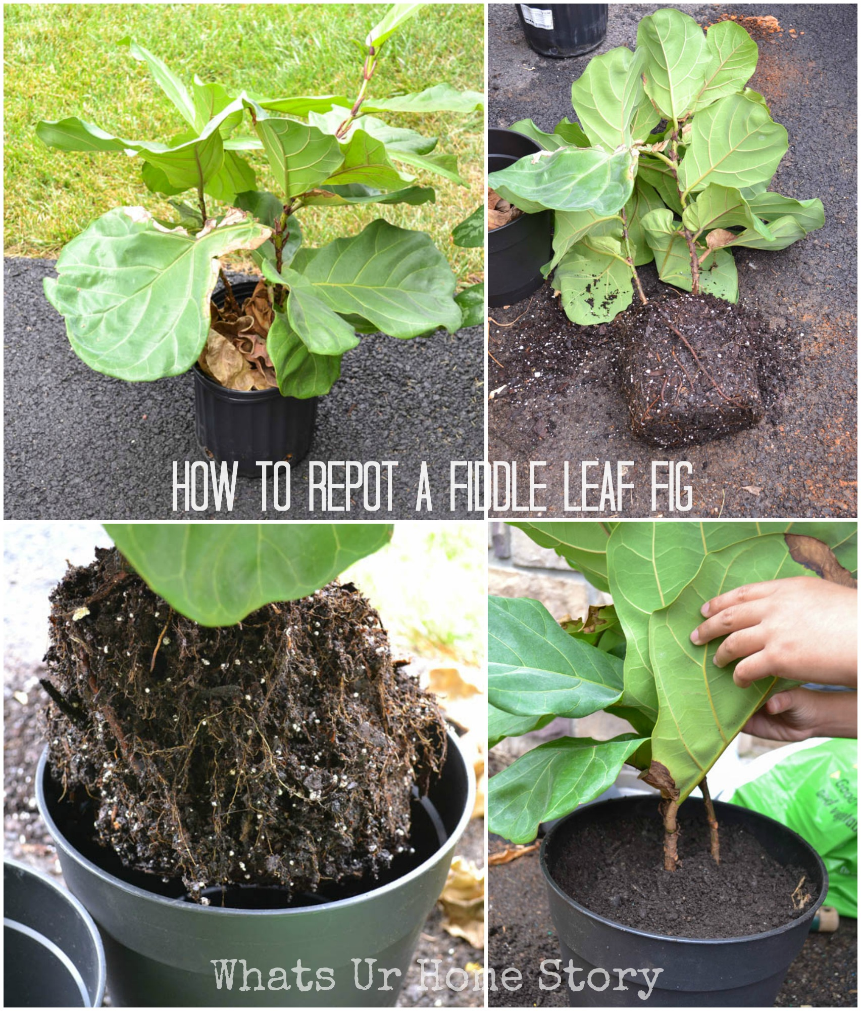 How To Repot A Fiddle
